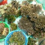 cs-coral